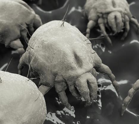 dust-mites